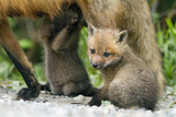 Fox and Cubs Photographic Print