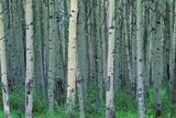 Birch Trees Photographic Print