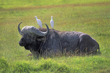 Water Buffalo Photographic Print