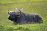 Water Buffalo Photographic Print