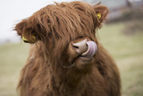 Mucca, in inglese Stampa fotografica