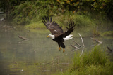 Bald Eagle Photographic Print