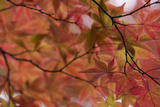 Japan, Nikko, Rinnoji Temple, Maple Tree in Fall Colors, Close-Up Prints by  Nosnibor137
