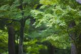 Japan Kyoto Tofuku-Ji Temple Maple Trees Posters by  Nosnibor137