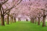 Cherry Blossoms Plenitude Photographic Print by  Smileus