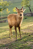 One Deer in Nara Park in the Morning, Japan, Asia. Photographic Print by  elwynn