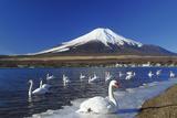 Mt.Fuji and Swan Photographic Print by  yoshiyayo