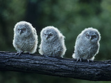 Three Owlets on Bough Photographic Print by  Nosnibor137
