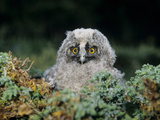Baby Owl in Moss Photographic Print by  Nosnibor137