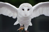 Barn Owl Bird of Prey in Falconry Display Posters by  Veneratio