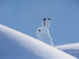 Arctic Hare Prints by  Nosnibor137
