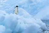 Penguin on Iceberg Photographic Print by  Nosnibor137