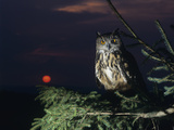 Owl Perching on Tree Branch Photographic Print by  Nosnibor137