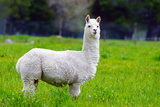 Alpaca Photographic Print by Lakeview Images