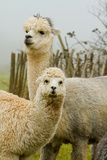 An Alpaca Mother and Baby Photographic Print by  acceleratorhams