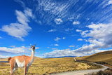 Gravel Road between the Mountains and Trusting Guanaco -  Small Camel. National Park Torres Del Pai Photographic Print by  kavram