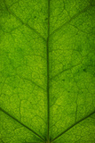 Ivy Leaf Photographic Print by Steve Gadomski