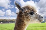 White Alpaca Photographic Print by  BLFInk