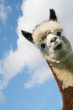 Alpaca Photographic Print by  E'Lisa