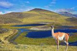 Dreamland Patagonia. Blue Water Grassy Lake, on  Hill Stands Beautiful Guanaco. National Park Torre Photographic Print by  kavram