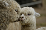 Alpaca Mother and Daughter Photographic Print by  ozflash