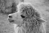 An Alpaca Fotografisk tryk af  meunierd