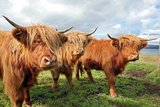 Close up of Scottish Highland Cow in Field Photographic Print by  trotalo