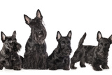 Mother Dogs and Puppies Breed Scotch Terrier Posters by  Lilun