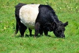 The Belted Galloway Photographic Print by  meunierd