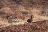 Red Grouse Photographic Print by Bahadir Yeniceri