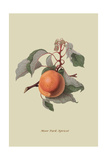 Moor Park Apricot Posters by William Hooker