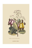 Cashew Tree Posters by Mark Catesby
