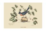 Blue Bird Giclee-tryk i høj kvalitet af Mark Catesby
