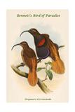 Drepanoris Cervinicauda - Bennett's Bird of Paradise Print by John Gould