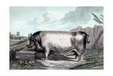 British Boar Print by Edwin Henry Landseer
