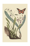 Monarch Butterfly Prints by Mark Catesby