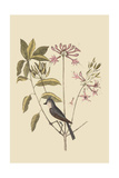 Crested Titmous Prints by Mark Catesby