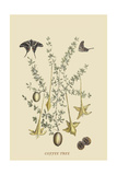 Coffee Tree Posters by Mark Catesby