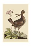 Amercan Partridge Affiche par Mark Catesby