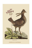 Amercan Partridge Prints by Mark Catesby