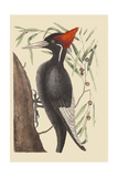 Large White Billed Woodpecker Print by Mark Catesby