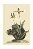 Black Squirrel Posters by Mark Catesby