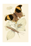 European Butterflies and Moths Prints by James Duncan