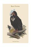 Octogyps Calvus - Black Vulture Posters par John Gould