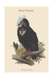 Octogyps Calvus - Black Vulture Posters by John Gould