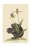 Black Squirrel Prints by Mark Catesby