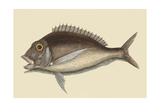 Porgy Prints by Mark Catesby