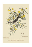 Blackcap Flycatcher Print by Mark Catesby