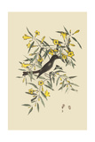 Blackcap Flycatcher Posters par Mark Catesby