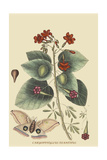 Caryophyllus - Dianthus and Moth Prints by Mark Catesby